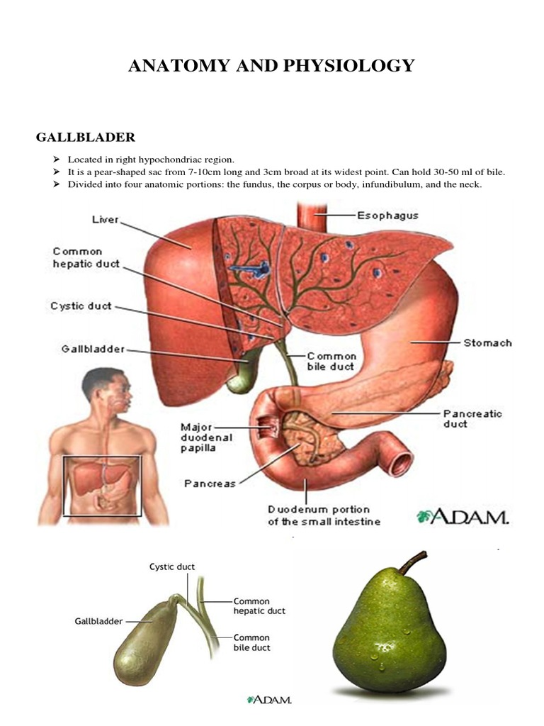 Anatomy and Physiology Gallblader - DocShare.tips