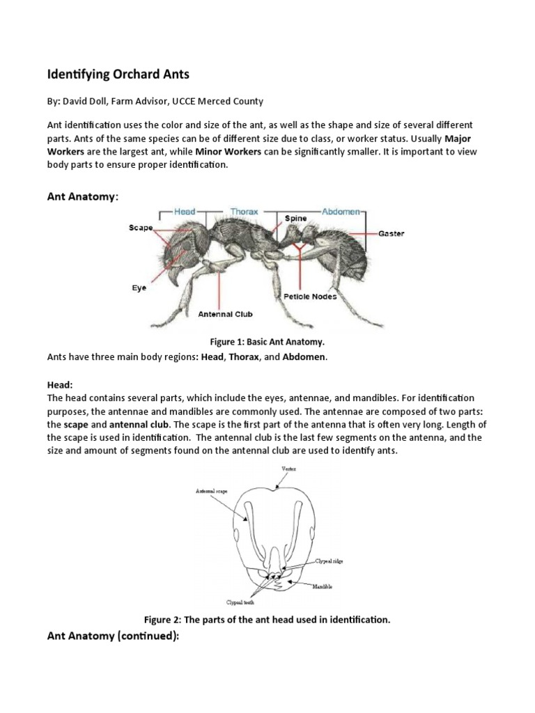 Almond Orchard Ant Identification - DocShare.tips